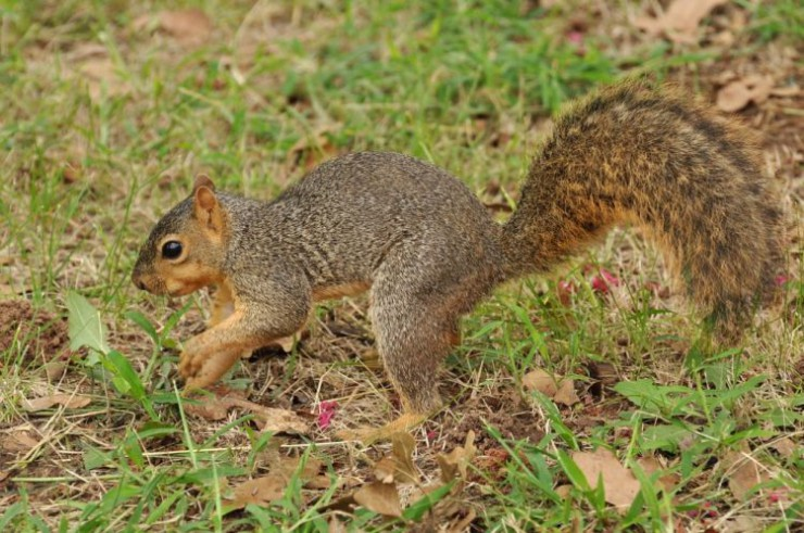 Fox-Squirrel1