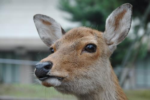 deer 1006