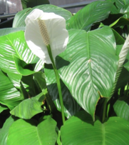lilies-peace lilies spathiphyllum