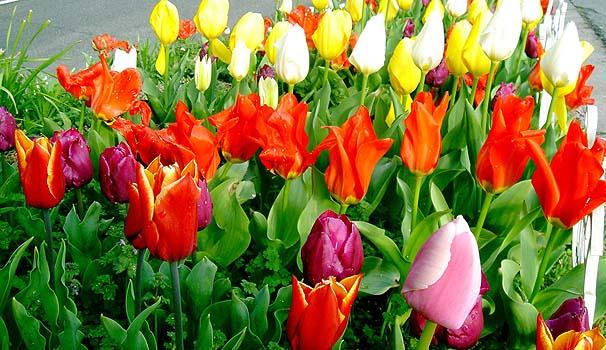 tulip01