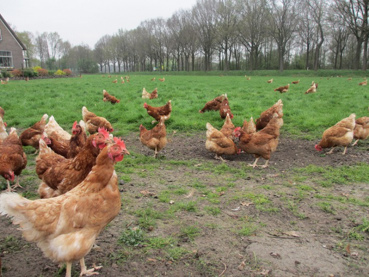 organic-chickens