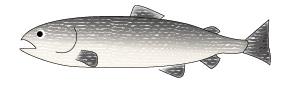 salmon-illust
