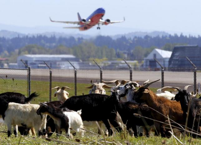 米ポートランド空港に「働くヤギ」、任務はエコ除草