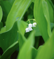 lilies-lily of the valley